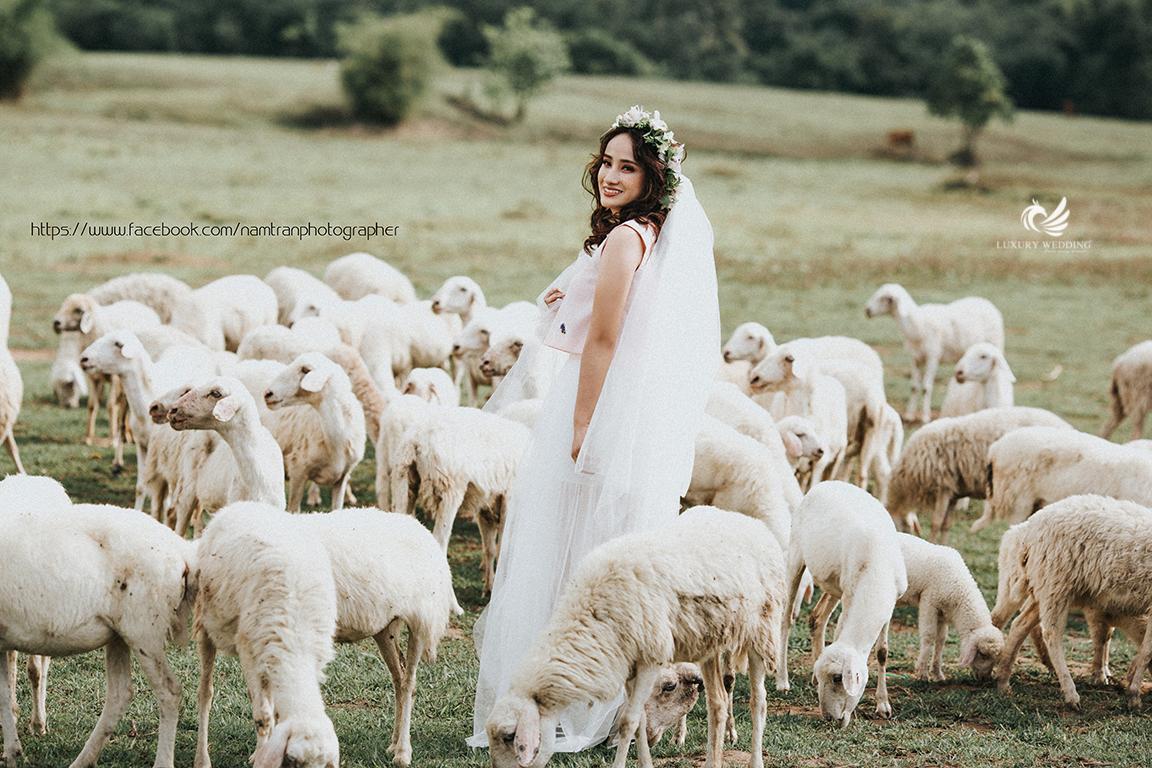 Chụp ảnh cưới với đàn cừu hồ cốc